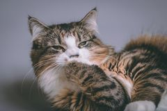 舔它的爪子的平纹和白色猫的演播室画象 库存图片
