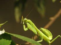 舔它的腿的螳螂 库存照片