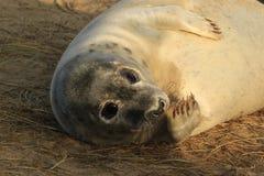 舔它的鸭脚板的幼小灰色小海豹 免版税库存照片