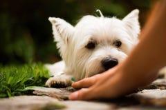 舔所有者` s手的可爱的小狗 免版税库存照片