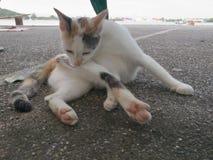舔毛皮的CAT 免版税库存图片