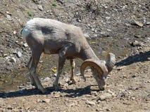 舔盐的大角羊母羊 免版税库存图片