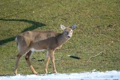 舔鼻子的鹿 免版税库存照片