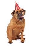 舔嘴唇的Bullmastiff狗佩带的生日帽子 免版税库存图片