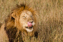 舔他的在马塞人玛拉的公狮子嘴唇 库存照片
