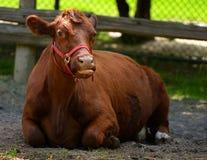 舔嘴的母牛 免版税库存图片