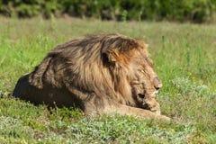 舔他的爪子的狮子 免版税库存图片