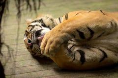 舔他的爪的老虎(豹属底格里斯河) 免版税库存图片
