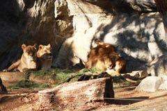 舔他的球和坐两头母狮子的野生公狮子在国家森林里 免版税库存照片