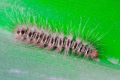 舞毒蛾毛虫湿在爬行在叶子的雨以后 图库摄影