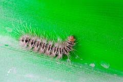 舞毒蛾毛虫湿在爬行在叶子的雨以后 免版税库存图片