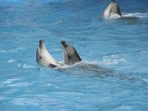 舞蹈海豚 免版税库存照片