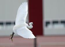 舞蹈Birding 免版税库存图片