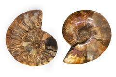 舡鱼在白色背景隔绝的壳化石 被切的化石 免版税库存照片