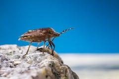 船坞臭虫(Coreus marginatus) 免版税库存照片