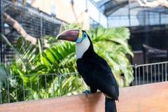 船骨开帐单的Toucan, Ramphastos sulfuratus,与大票据的鸟 Toucan坐分支在巴厘岛公园  免版税库存照片