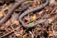 船骨鼓起的鞭蛇Dryophiops rubescens在马来西亚雨林的森林地板上夜间发现了 库存照片