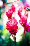 良姜属purpurata花在密林 免版税库存图片