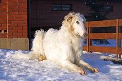 良种俄国猎狼犬狗 免版税库存图片