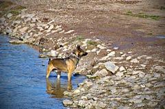 良种德国牧羊犬 免版税图库摄影