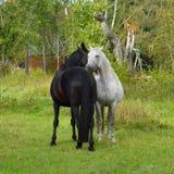 良种母马和公马平凡 免版税库存图片