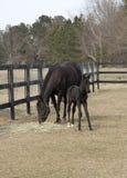 良种母马和马驹 免版税库存照片