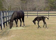 良种母马和马驹 库存图片