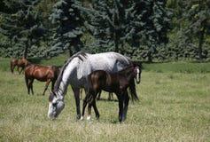 良种母马和驹在母亲之后的牧场地 图库摄影