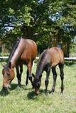 良种母马和驹在母亲之后的牧场地 库存图片
