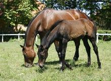 良种母马和驹在母亲之后的牧场地 免版税图库摄影