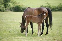 良种母马和驹在母亲之后的牧场地 免版税库存图片
