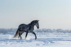 良种西班牙灰色马在自由走 免版税库存图片