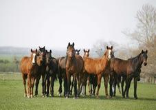 良种马美丽的牧群在牧场地 免版税库存图片