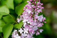 紫色丁香在校园开了花 库存图片