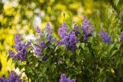 紫色丁香在淡紫色庭院里 库存图片