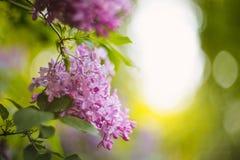紫色丁香在淡紫色庭院里 免版税库存图片
