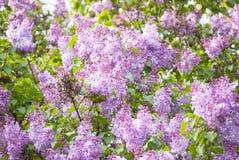 紫色丁香开花 免版税库存照片