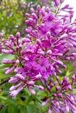 紫色丁香开花 库存照片