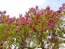 紫色丁香开花 库存图片