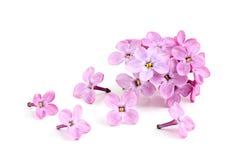 紫色丁香花。 库存图片