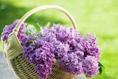 紫色丁香 库存图片