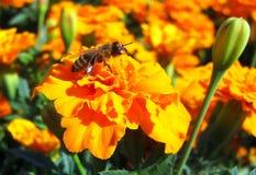 黄色万寿菊和蜂对此 免版税图库摄影