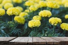 黄色万寿菊花在庭院& x28里; 迷离image& x29;选择的focu 库存照片