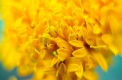 黄色万寿菊花特写镜头的抽象瓣 图库摄影