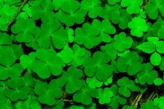 绿色三叶草叶子 免版税库存图片