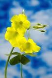 黄色三叶草 库存图片
