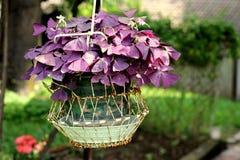 紫色三叶草Oxalis 免版税库存照片