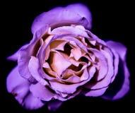 紫色上升了 免版税图库摄影