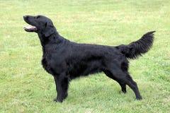 黑色上漆的平面的猎犬 免版税库存图片