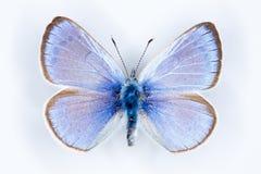 绿色下面蓝色, Glaucopsyche亚历克西斯蝴蝶 库存照片